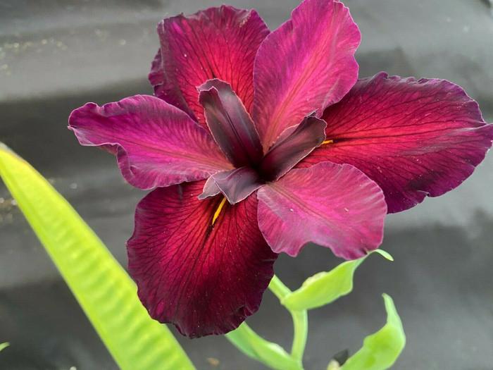 Iris Red Velvet Elvis