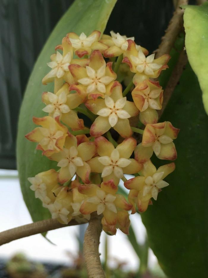 Hoya crassicaulis