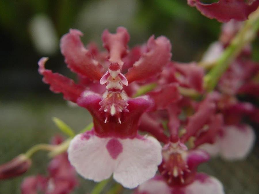 Oncidium Heaven's Delight 'Sweet Fanfare'