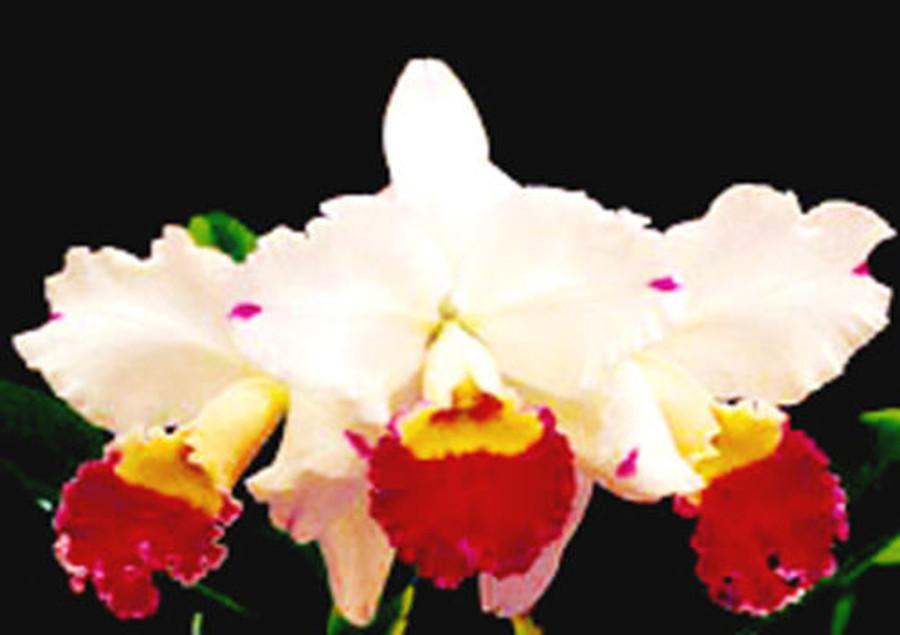 Cattleya Ida Elizabeth 'Patrick'