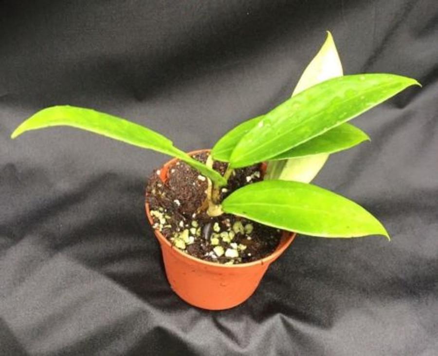 Hoya limoniaca