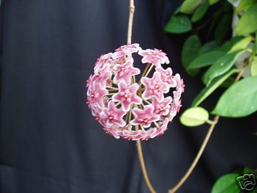 Hoya pubicalyx 'Bright One'