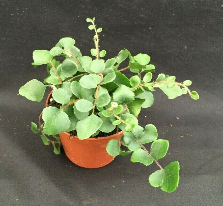 Button Fern,  Pellaea rotundifolia