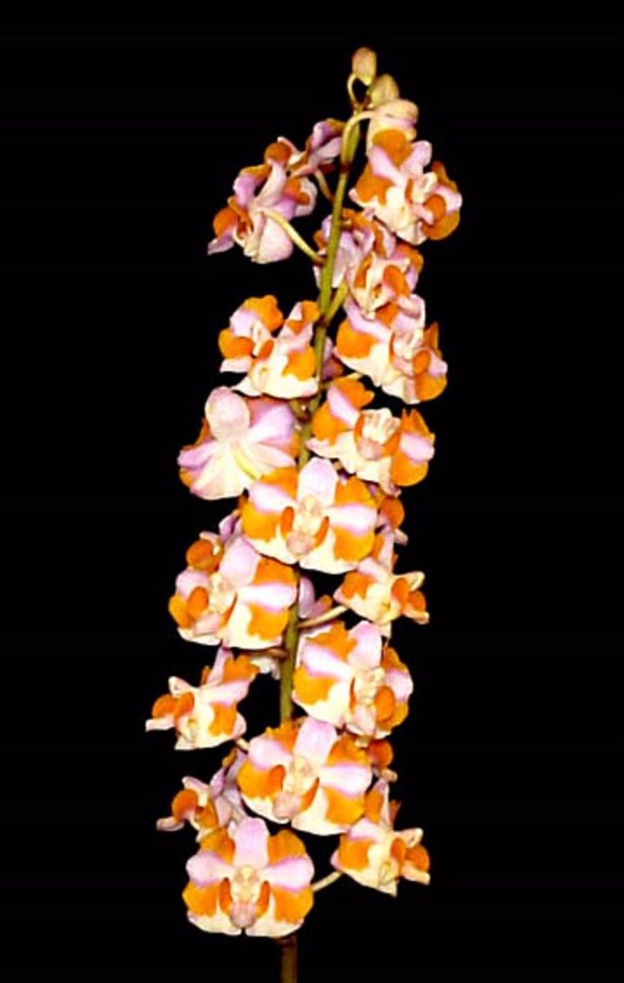 Phalaenopsis pulcherrima 'Chumpornensis' X Self