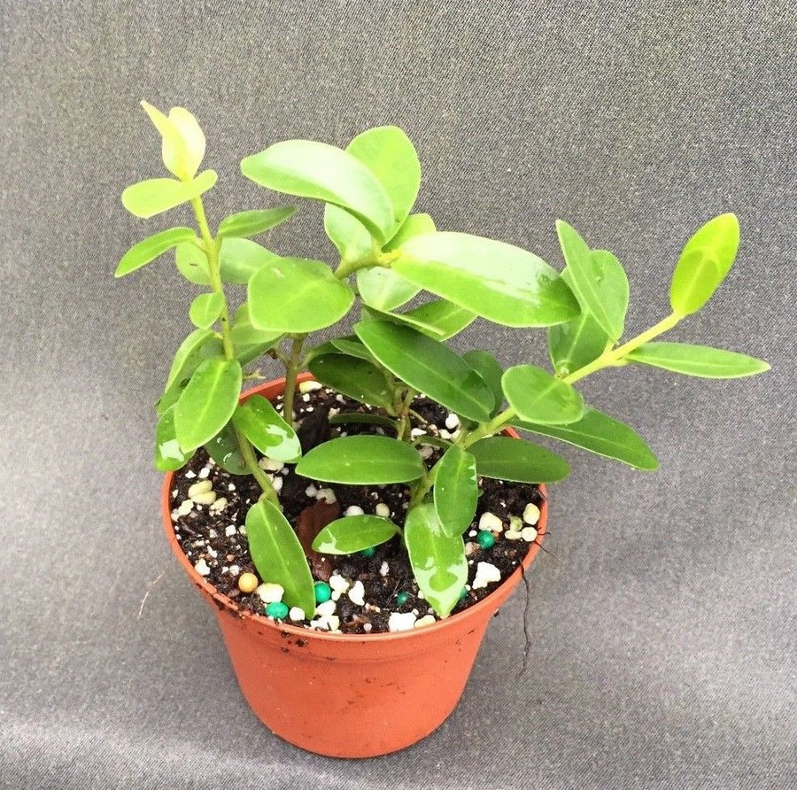 Hoya cumingiana 'Little Leaf'