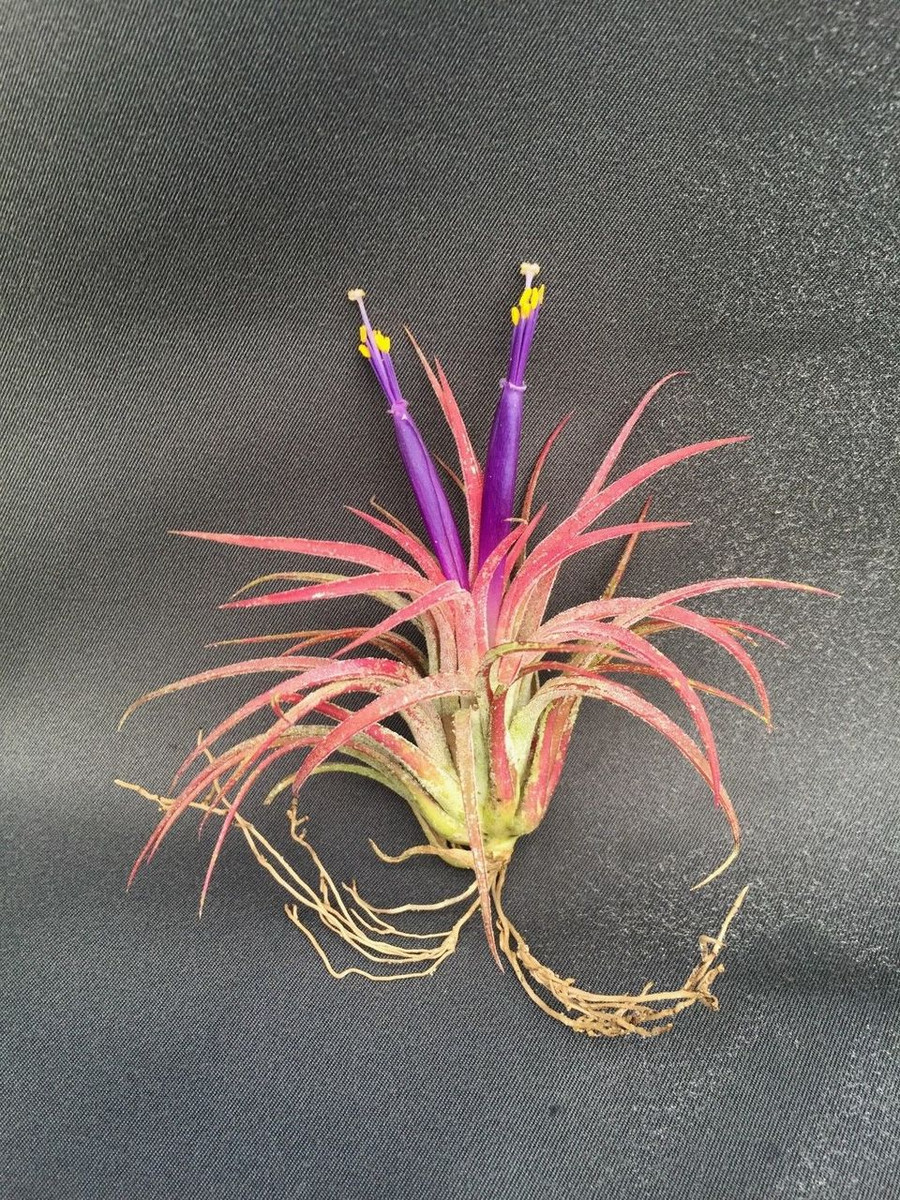 Tillandsia ionantha, Five Plants