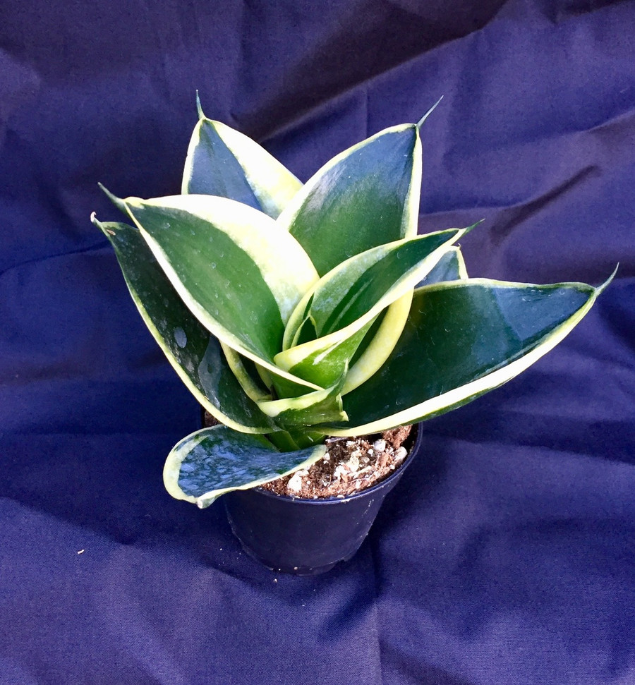 """Sansevieria trifasciata 'Jade Pagoda'.  Unique Dwarf Mother-in-Law Tongue with dark green leaves with a gold border.  Great low light house plant, low growing. Growing and shipped in a 2"""" pot.  Easy to grow!"""