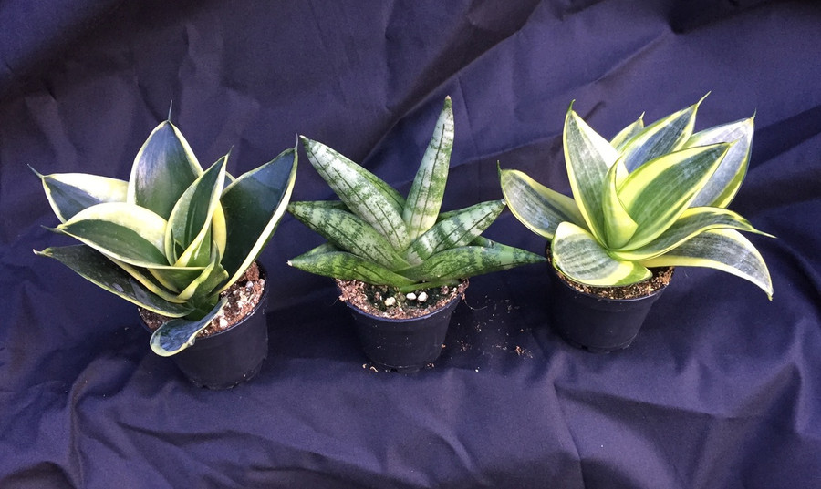 """Sansevieria Collection offer, Three Different as shown.  Left to right; 'Jade Pagoda' 'Boncellensis' and 'Golden Hahnii'  Save on buying all three!  Great low light house plant, low growing. Growing and shipped in a 2"""" pots.  Easy to grow"""