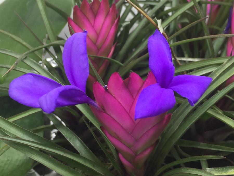 Tillandsia cyanea in Bud