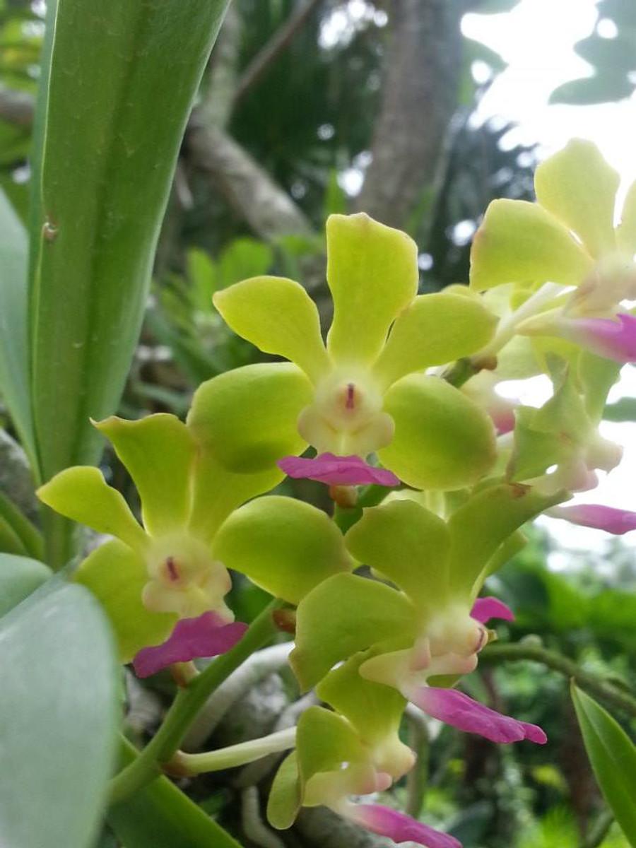 Vandachostylis (Mishima Lime X Luke Thai)