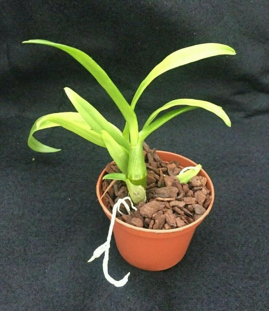 Dendrobium Woo Leng 'Blue'