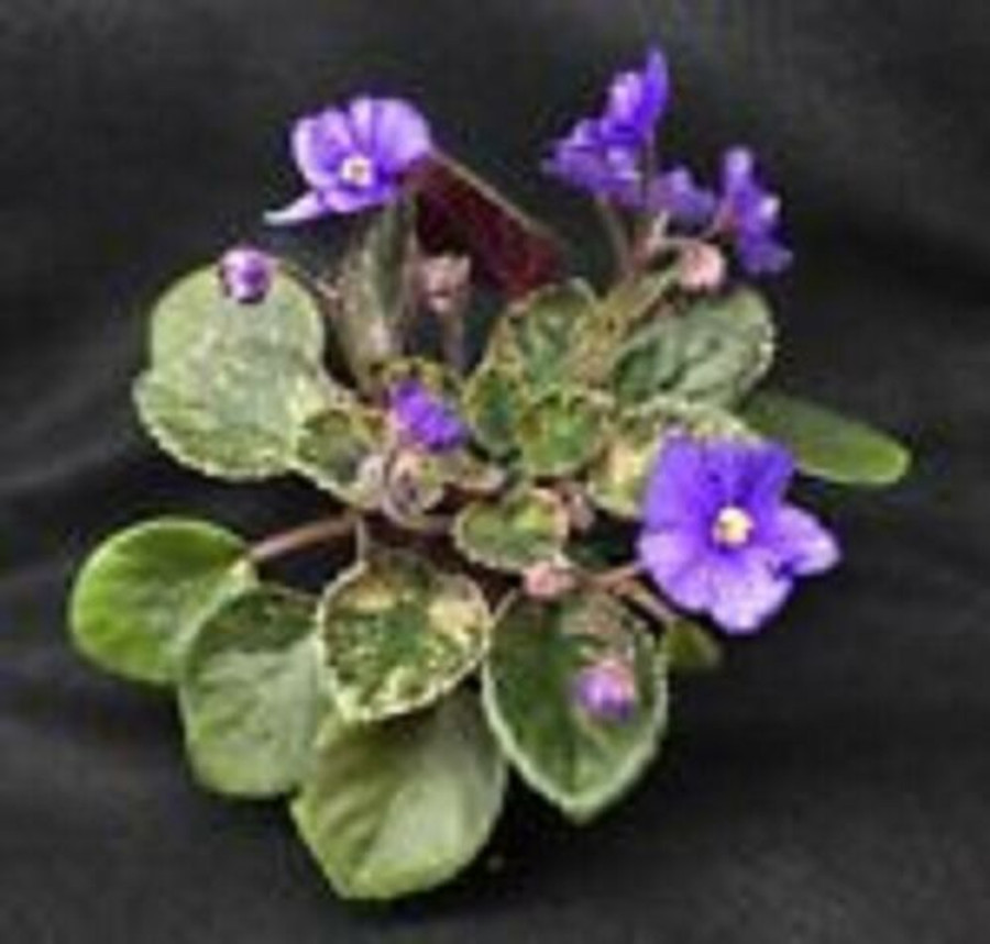 Blue Halo, Miniature African Violet