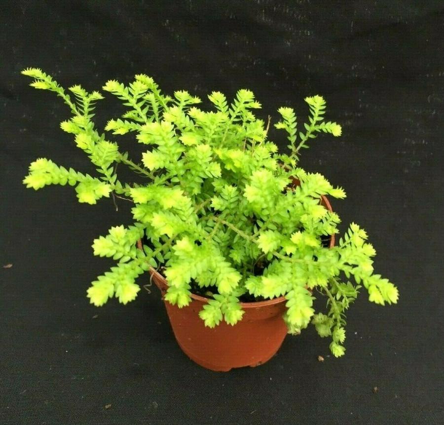 Selaginella kraussiana 'Gold Club Moss'