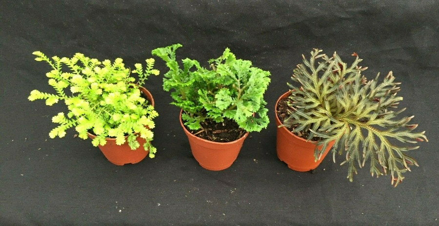 Moss Collection, Three Different Selaginella