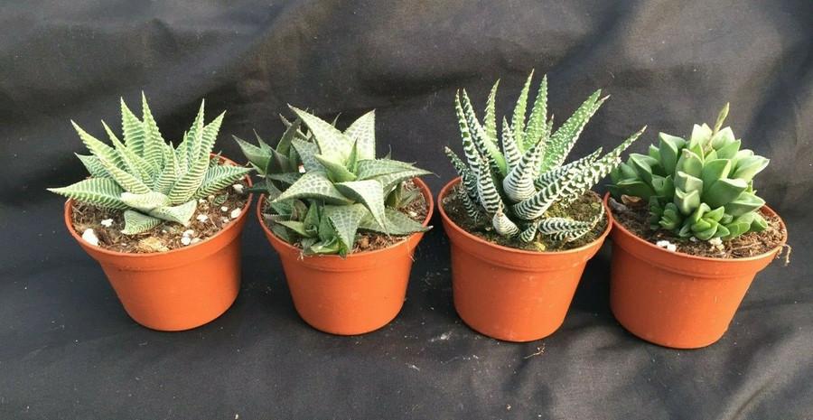 Haworthia Collection 4 Different