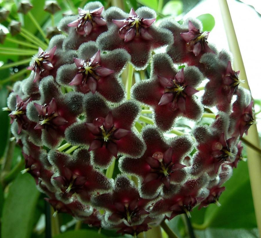Hoya pubicalyx 'Black Dragon'