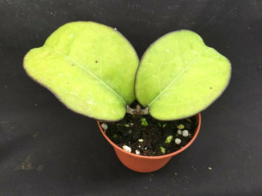 Hoya vitellina