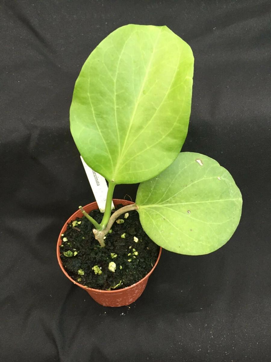 Hoya marginata