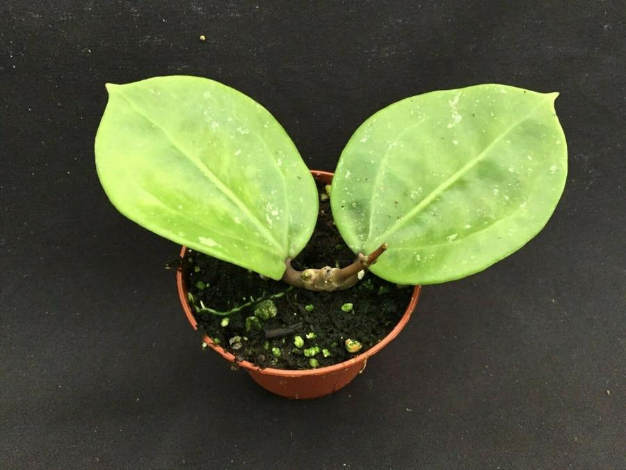 Hoya pottsii 'Spoon Leaf'