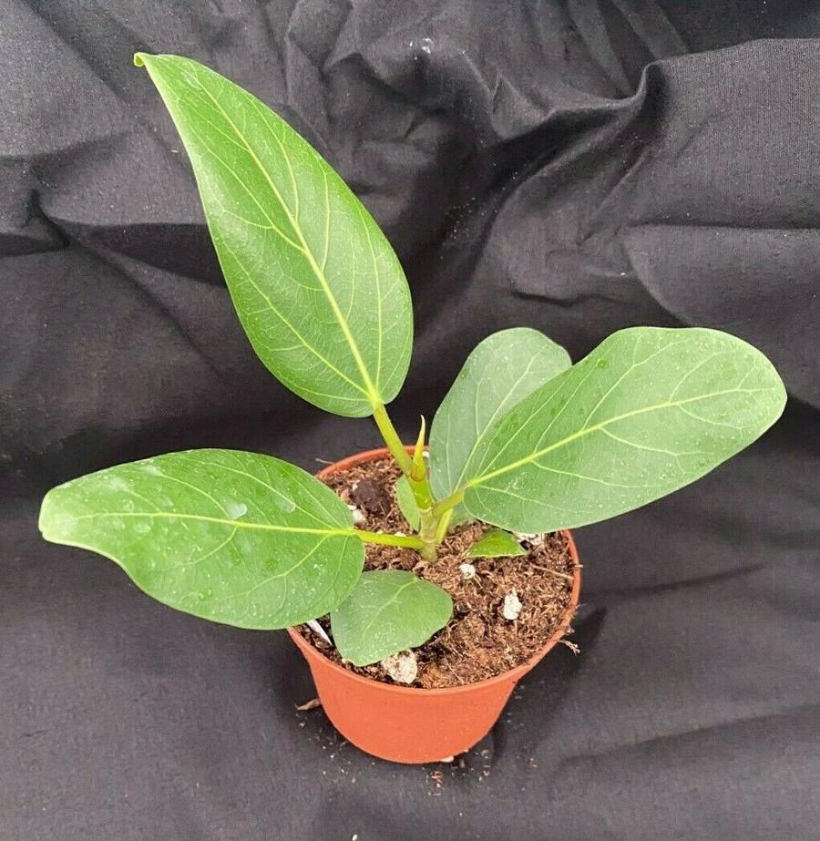 Ficus benghalensis aka Ficus Audrey