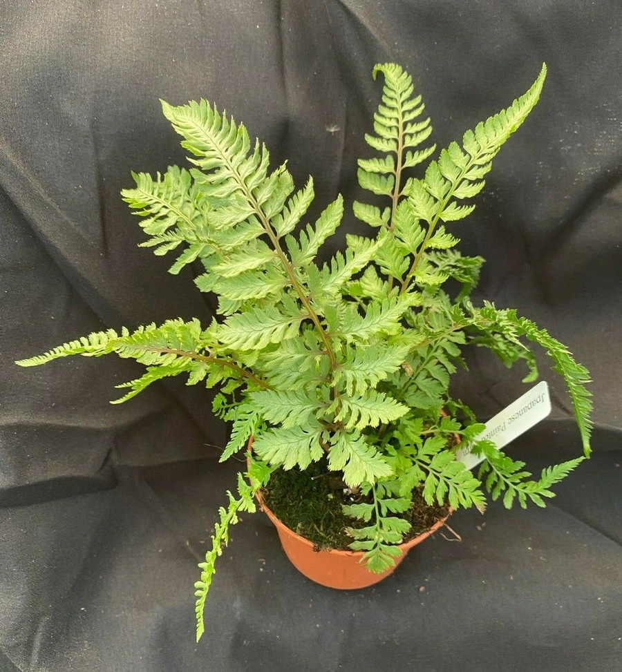 Athyrium niponicum 'Pictum'  The Japanese Painted Fern
