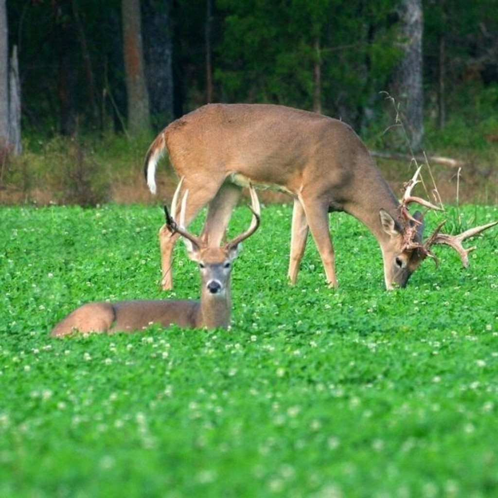 Whitetail Institute Imperial Clover - 2 lbs.