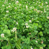 Real World Clover/Chicory