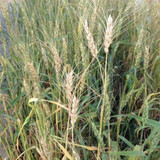 Eagle Seeds Buck Monster Forage Wheat