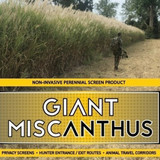 Real World Giant Miscanthus