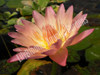 Albert Greenburg- Orange Tropical Water Lily