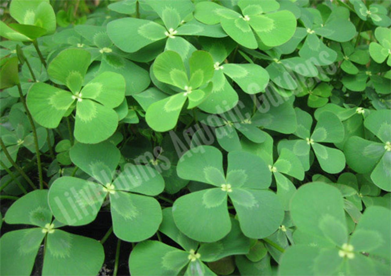 Four Leaf Water Clover Marsilea Mutica Hardy Bog Plant
