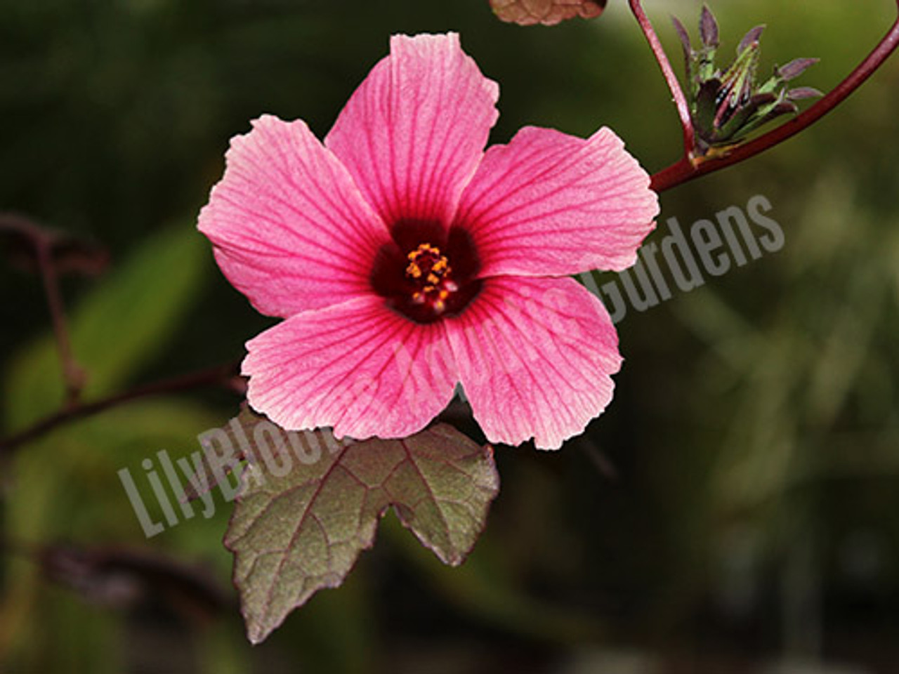 Red Night Blooming Hibiscus (Hibiscus Acetosella)