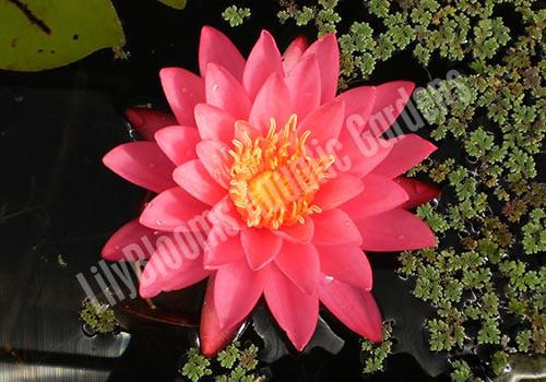 Mayla - Pink Hardy Water Lily