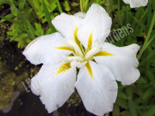 Anytus- White Iris