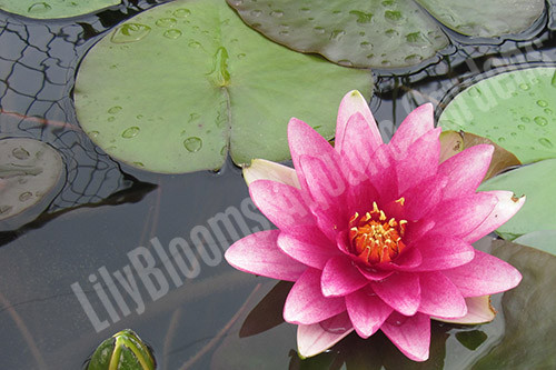 Attraction- Red Hardy Water Lily
