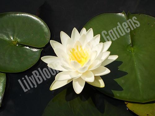 Odorata- White Hardy Water Lily