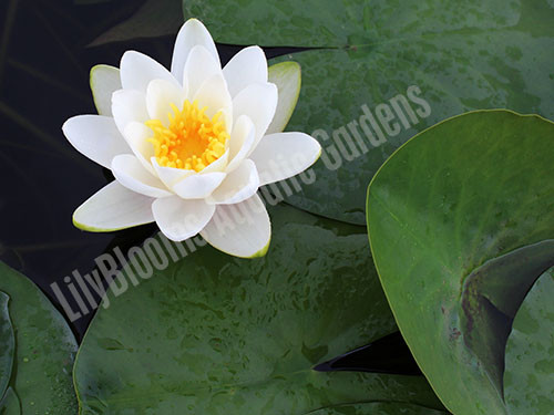 Virginalis- White Hardy Water Lily