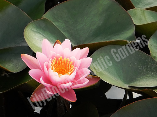 Firecrest- Pink Hardy Water Lily
