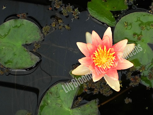 Sioux- Changeable Hardy Water Lily