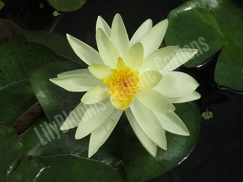 Charlene Strawn- Yellow Hardy Water Lily