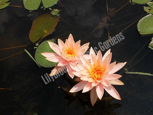Colorado- Peach/Orange Hardy Water Lily