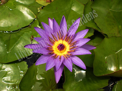 Director Moore- Purple Tropical Water Lily
