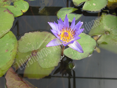 Tina- Purple Tropical Water Lily