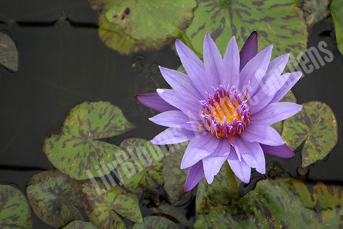 Blue Spider- Blue Tropical Water Lily