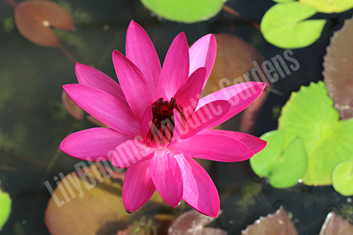 Red Cup- Red Tropical Night Blooming Water Lily