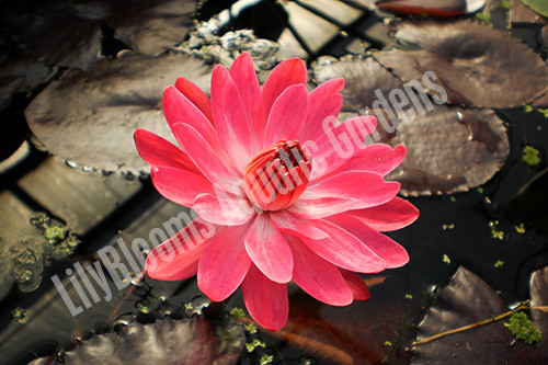 Red Flare- Red Tropical Night Blooming Water Lily