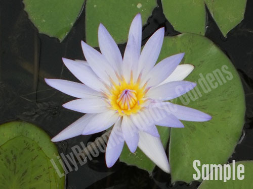 Unsorted Blue Tropical Water Lily