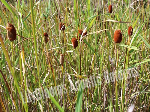 Dwarf Cattail- Hardy Bog Plants