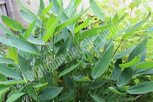 Thalia Dealbata- Hardy Bog Plant
