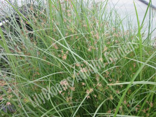 Hardy Umbrella Grass- Hardy Bog Plant